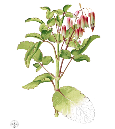 One of the illustrations of Lorenzo Guerrero in Flora de Filipinas